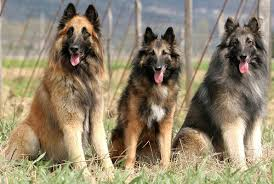 belgian shepherds what s good about em what s bad about em