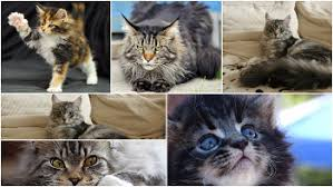 forest cat vs maine coon maine coons vs forest cats mainecoon org