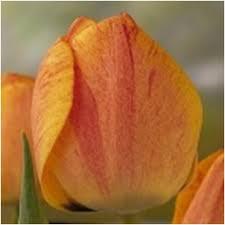 tulip gudoshnik flower bulbs qty 100 mill bulbs