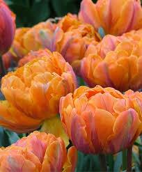 tulip orange princess peony flowering tulips tulips flower