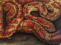 Corn Snake Shedding Time by 91 Best Colubrid Crazy Images On Pinterest Reptiles Amphibians
