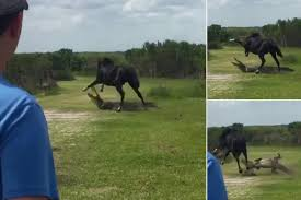 Alachua Sink Gainesville Fl by Paynes Prairie Wild Horse Attacks Huge Alligator News