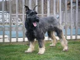 Do Giant Schnauzer Dogs Shed Hair by Giant Schnauzer Compact Dog As Pet About Pet Life