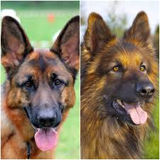 My Short Haired Dog Sheds A Lot by Haired German Shepherd Vs Long Haired Comparison U0026 Differences