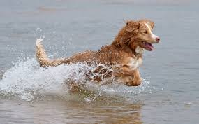 Chesapeake Bay Retriever Shed Hunting by Water Dog Wikipedia