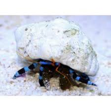 Halloween Hermit Crab by Marine Crabs For Sale Delivered Uk Marinefarm