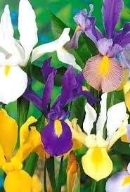 iris rhizomes bearded iris rhizome storage hviezda club