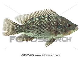 Stock Image Of Mozambique Tilapia Fish K31365425