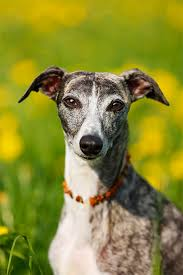 Dogs That Shed The Most Least by Whippet Dog Breed Information Pictures Characteristics U0026 Facts