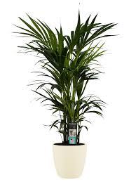 zimmerpflanze kentia palme in cremefarbenem übertopf als set höhe 120 cm