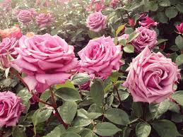 Flowers For Flower Beds by 50 Best Types Of Flowers U2013 Pretty Pictures Of Garden Flowers
