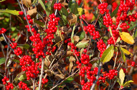 Winterberry Christmas Tree Farm by Winterberry Holly Shrubs Draw Songbirds Add Color