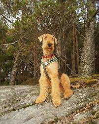 Airedale Terrier Non Shedding by 253 Best Airedale Terriers Images On Pinterest Airedale Terrier