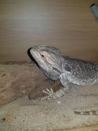 Bearded Heat L Timer by Bearded Dragons To Home Reptiles Rehome Buy And Sell In
