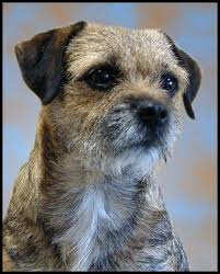 Border Terrier Non Shedding by Border Terrier Small Dog Breeds Dog Breeds Shedding Dogs And