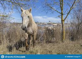 100 Ampurdan Horses Of The Camargue In The Natural Park Of The Marshes Of