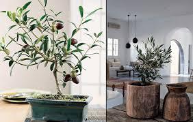 tramier cultiver un olivier chez soi