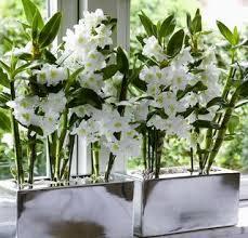 4 conseils pour les orchidées dendrobium le pouvoir des fleurs