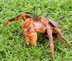 Do Hermit Crabs Shed Their Legs by Meet The World U0027s Largest Terrestrial Arthropods Coconut Crabs