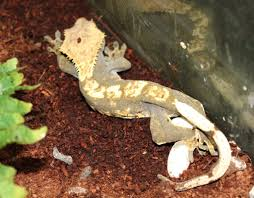 Crested Gecko Shed Box by Crested Gecko Lay To Hatch Progression