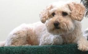 Non Shedding Dogs Small To Medium by Miniature Poodles What U0027s Good About U0027em What U0027s Bad About U0027em