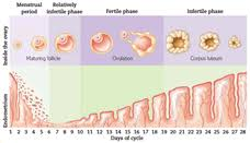 Shedding Of Uterine Lining During Pregnancy by Day 2 Of Your Menstrual Cycle Familyeducation
