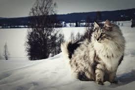 snow cat the snow cat
