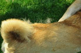 Do Malamutes Shed Hair by What Months Do Dogs Shed The Most Pethelpful