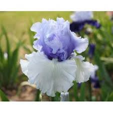 ozark locally grown 28061077 1 wintry sky bearded iris rhizome
