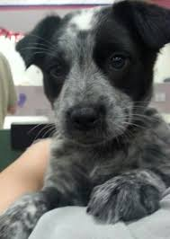 do blue heeler border collies shed heeler border collie mix search dogs