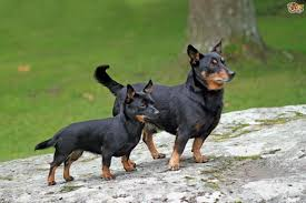 Blue Heeler Lab Mix Shedding by Lancashire Heeler Dog Breed Information Buying Advice Photos And