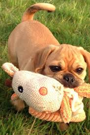 Do Pugs And Puggles Shed by 352 Best I Love Puggles Images On Pinterest Puggle Puppies