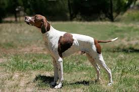 Dogs That Shed The Least by Pointer Dog Breed Wikipedia
