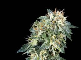 How To Grow The Potent Northern Lights Marijuana Strain