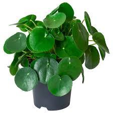 pilea peperomioides pflanze ufopflanze 14 cm