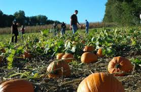 Pumpkin Picking In Chester Nj by Corn Maze In Chester New Jersey The Corn Maze At Alstede Farms