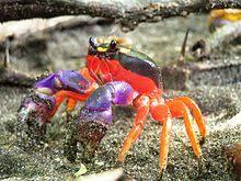 Halloween Hermit Crab Lifespan by Gecarcinus Quadratus Wikipedia
