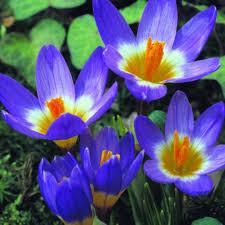 bulbs crocus blue bulbs for sale mail order