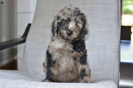 Lhasa Apso Poodle Mix Shedding by Bernedoodle Puppies For Sale Greenfield Puppies