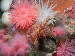 decorator crabs eat fish columbia the marine detective