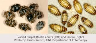 Carpet Weevil Pictures by Carpet Beetle Larvae Identification U2013 Meze Blog