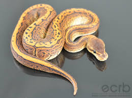 Ball Python Shedding Signs by Champagne Black Pewter Ball Python Reptiles Pinterest Ball