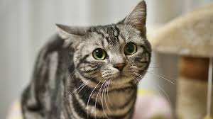 haired cats american shorthair cats
