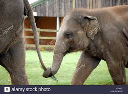 Baby Asian elephant walking behind holding its mother and holding