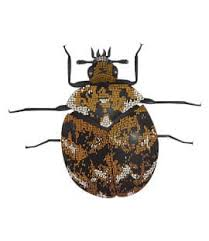 Do Carpet Beetle Bite by Carpet Beetles In Brentwood Middle Tn Tn Carpet Beetle Control