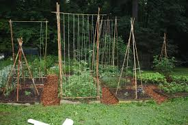 Bamboozling: How To Build A Bamboo Trellis – Let's Face The Music Install Bamboo Fence Roll Peiranos Fences Perfect Landscape Design Irrigation Blg Environmental Filebamboo Growing In Backyard Of New Jersey Gardener Springtime Using In Landscaping With Stone Small Square Foot Backyard Vegetable Garden Ideas Wood Raised Danger Garden Green Privacy For Your Decorative All Home Solutions Spiring And Patio Small Square Foot Vegetable Gardens Oriental Decoration How To Customize Outdoor Areas Privacy Screens