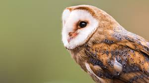 Owls Birds Barn Owl Animals Barn Owl Facts About Owls The Rspb Bto Bird Ring Demog Blog October 2014 Chouette Effraie Lechuza Bonita Sbastien Peguillou Owl Free Image Peakpx Wikipedia Barn One Wallpaper Online Galapagos Quasarex Expeditions Hungry Project Home Facebook Free Images Nature White Night Animal Wildlife Wild Hearing Phomenal Of Nocturnal Wildlife Animal Images Imaiges