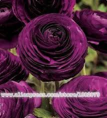 150pcs ranunculus asiaticus flower seeds for home