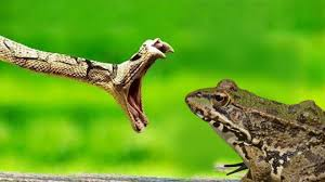 100 King Of The Frogs Amazing Cobra Vs Frog Fight To Death Best Snake Attack In Africa