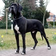 Non Shedding Dog Breeds Big by Big Worst Dog Breeds Dog Breeds Puppies Top Up Worst Dog Breeds